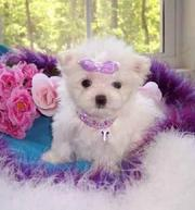 gorgeous maltese for adoption