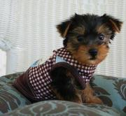 Tea-Cup Yorkie  Puppies For Free Adoption.