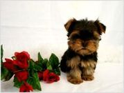 ADORABLE TEACUP YORKIE PUPPIES BOYS & GIRLS FOR YOUR CHRISTMAS