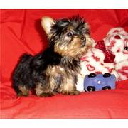 Affectionate Teacup Yorkie Puppies For Adoption(ssandrawelpen@aol.com)
