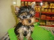 X-mass Teacup yorkie  puppy for adoption